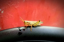 Close-up Of Grasshopper On Black Seat Against Red Wall