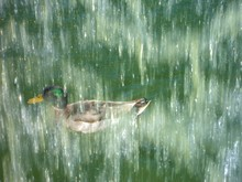 High Angle View Of Male Mallard Duck With Falling Water In Front