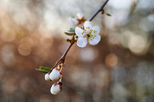 Blooming Wild Plums