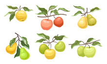 Ripe Apples And Pears Fruits H...