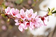 Spring, Beautiful Flowering Br...