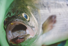 Close-up Of Dead Fish With Open Mouth