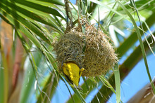 Garden Weaver Male (Ploceus Cucullatus) Enters Its Nest. The Nest Is Made Of Dry Grass, Hanging In The Shade Of Leaves On A Palm Tree. Botswana.