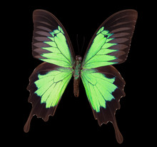 Green Emperor Butterfly Isolated On A Black Background