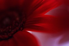 Extreme Close Up Of Red Flower