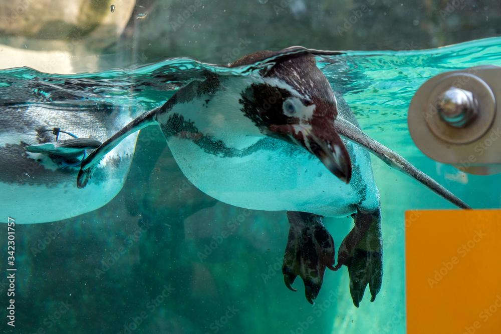 Fototapeta pingwin pod wodą