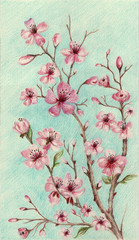 Fototapeta Egzotyczne Cherry blossoms pink flowers on blue background