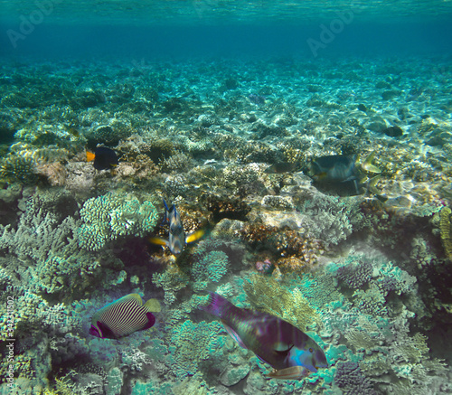 Fototapety, obrazy: Underwater world. Coral fishes of Red sea.