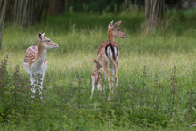 Mother And Baby Fallow Deer