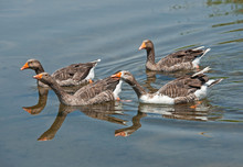 Small Flock Of Greylag Geese I...