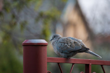 Pigeon Stands Onthe Red Gate.Wild Animal