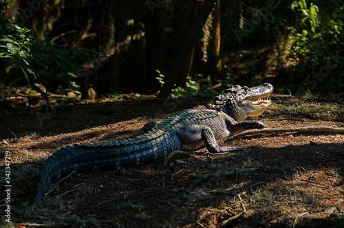 Photo Full body of alligator in bayou