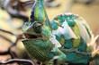 moulting chameleon