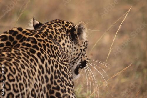 Canvastavla Leopard Walking On Grassy Field