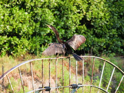 Photo anhinga drying his wings