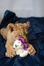 Photo Of A Lion Cub Who Chews ...