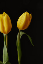 Two Yellow Tulips Against A Bl...