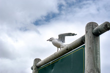 Seagulls In Hout Bay, South Af...