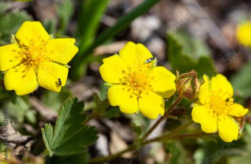 Fotografie, Tablou Yellow spring potentilla flower, macro