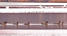 Canada Geese Swimming On Lake During Winter