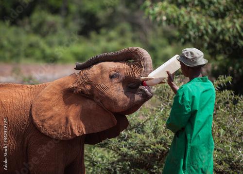 Nairobi, Kenya : Ranger feeding orphaned baby elephant in David Sheldrick Wildli Canvas