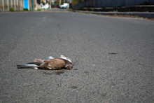 Dead Bird On The Pavement. Pandemic Concept