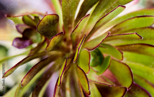 Fototapeta serrated edges of garnet succulent leaves