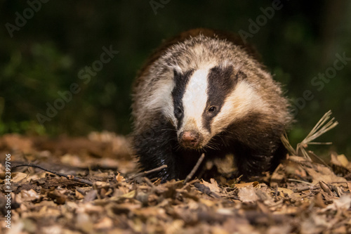 Badger in the night. Canvas Print