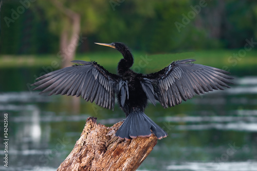 Anhinga (Anhinga anhinga),  Drying It's Wings Beside 40 Acre lake, Brazos Bend, Canvas Print