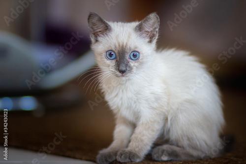 Fototapeta Cucciolo di gatto siamese con gli occhi azzurri accucciato  attento a seguire la