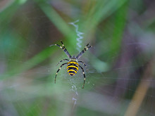 Tiger Spider Weaves A Net With...