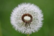 Une Touffe De Graines De Pissenlit Déjà Partiellement Envolées Au Gré Du Vent. A Tuft Of Dandelion Seeds Already Partially Flown Away With The Wind.