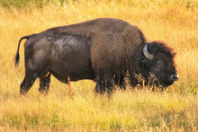 Male Bison Walking In Yellowst...