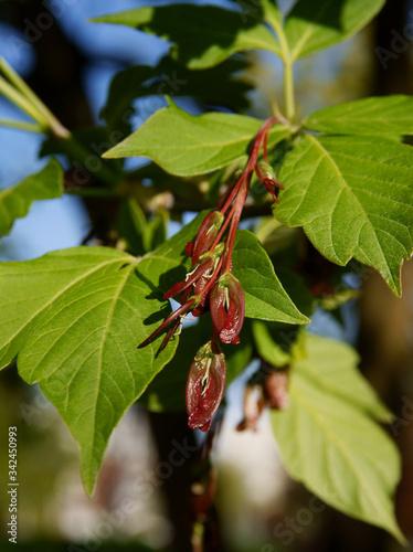 Box elder - Acer Negundo tree blossoming at spring Wallpaper Mural