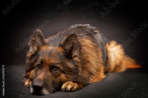 Tela A bright German shepherd is lying on a black background alone