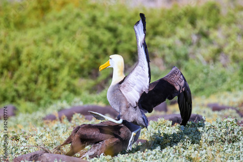 Waved albatrosses doing courtship ritual on Espanola Island, Galapagos National park, Ecuador Tapéta, Fotótapéta
