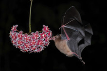 Orange Nectar Bat (Lonchophyll...
