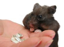 Close-up Of Hand Feeding Hamster
