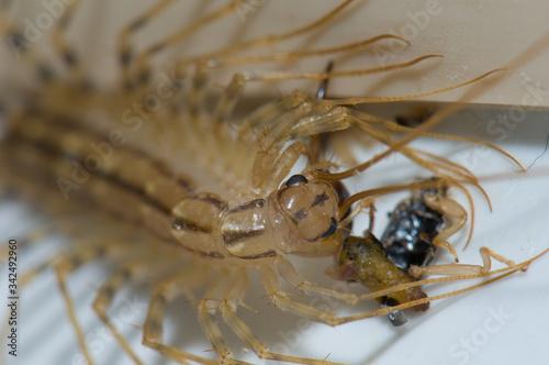 Cuadros en Lienzo House centipede Scutigera coleoptrata feeding of an earwig.