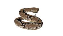 Rattle Snake Sketch Illustration