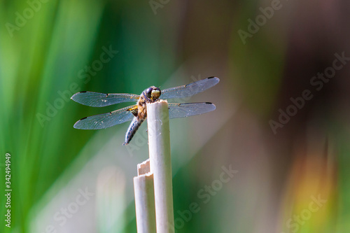 Photo Anisoptera - dragonfly sitting on a blade of grass.