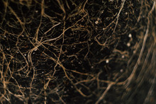 Plant Roots In Ground Texture....