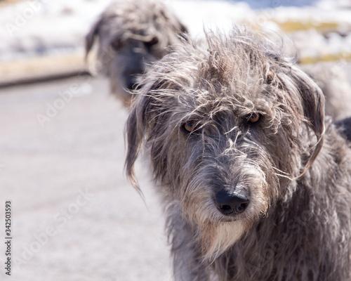 Fotografija Closeup of beautiful windswept female grey Irish Wolfhound staring with serious