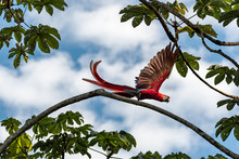 Scarlet Macaw Taking Off Into ...
