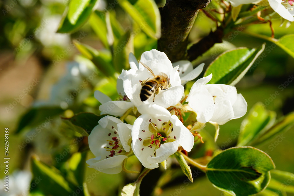 Pszczoła zapalająca kwiat gruszy