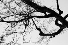 Look Up Tree In Winter Against...