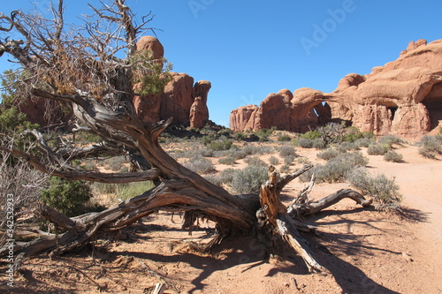 Canvas Print dead tree in arches national park