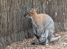 Close View Of A Kangaroo In Au...