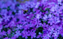 A Carpenter Bee Hovers Over Pu...