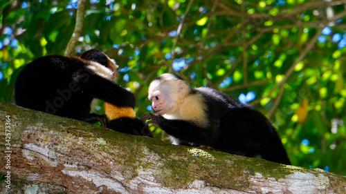 Fotografering White-Faced Capuchin